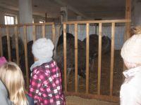 Hier koennen die Strausse hautnah betrachtet werden, zum Schutz vor ihren kraeftigen Beinen sind sie hinter Gittern